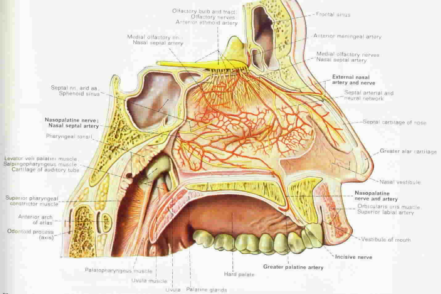 nasal anatomy and physiology, Cephalic Vein